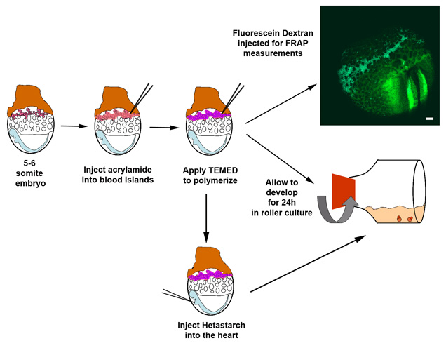 Vascular remodeling of the mouse yolk sac requires ...  Vascular remode...